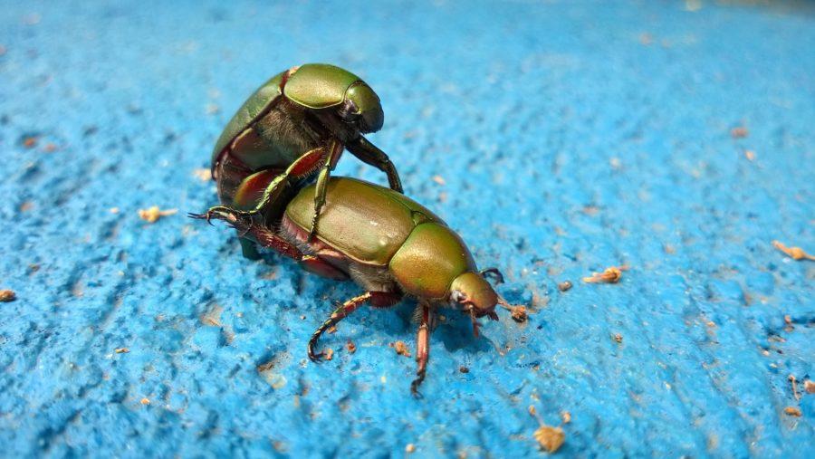 два жука спариваются