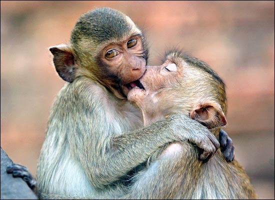 Обезьяны целуются